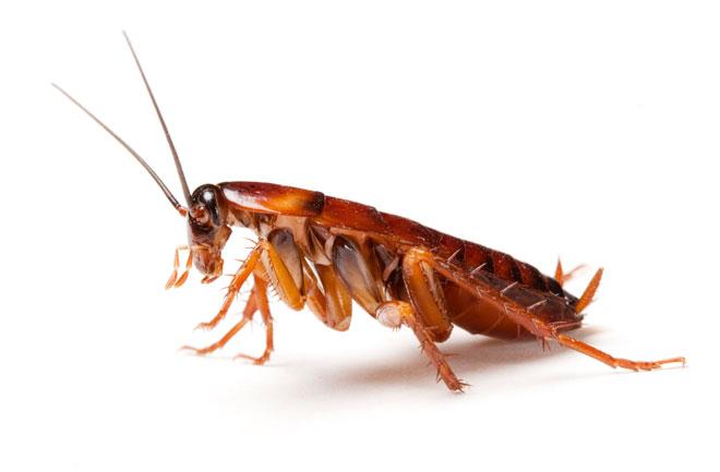 Как да унищожим хлебарки и други насекоми